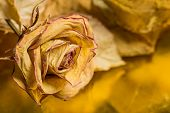 Dried rose with leaves - nostalgic background
