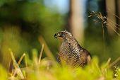 stock photo of goshawk  - Northern goshawk head in a grass on the forest ground - JPG