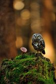 stock photo of small-hawk  - Little owl standing on moss tree stump in the forest next to the mushroom - JPG
