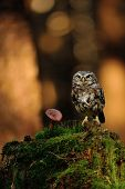 picture of small-hawk  - Little owl standing on moss tree stump in the forest next to the mushroom