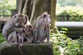 Family Of Wild Rhesus Monkeys In Ubud, Bali, Indonesia