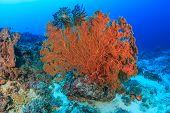Large seafan on a reef