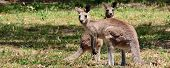 Two Eastern Grey Kangaroos On Alert