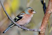 chaffinch perched on branch (fringilla coelebs)