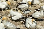 stock photo of gannet  - Gannets and chicks in Muriwai gannet colony in Muriwai Regional Park New Zealand - JPG