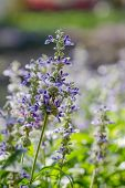Blue Salvia (salvia Farinacea) Flowers