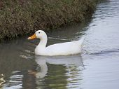 White Duck In The Water