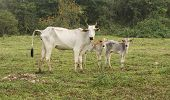 Cow and veals in a Farm in Pantanal, Brazil