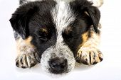 pic of cross-breeding  - Cute Texas Blue Heeler  - JPG