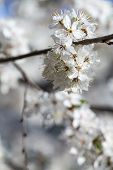 stock photo of may-flower  - The cherry blossoms in early May - JPG