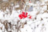 picture of rowan berry  - Red rowan mountain ash berries with fresh snow winter background - JPG