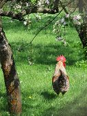 image of rooster  - A rooster walking in the garden under the blooming apple trees - JPG