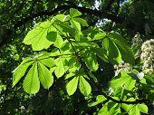 foto of enlightenment  - green chestnut tree leaves enlightened with the sun - JPG