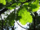 image of enlightenment  - close photo of green oak leaves enlightened with the sun - JPG