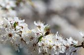 picture of may-flower  - The cherry blossoms in early May - JPG