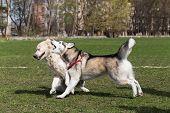 image of siberian husky  - Siberian Husky and Golden Retriever walks at the stadium - JPG