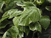 stock photo of ivy  - Green ivy Hedera with glossy leaves and white veins in the rain - JPG