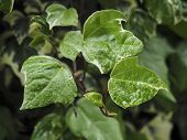 foto of ivy vine  - Green ivy Hedera with glossy leaves and white veins in the rain - JPG