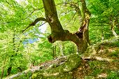 foto of hollow  - A huge and old linden tree with hollow in the mountain forest - JPG