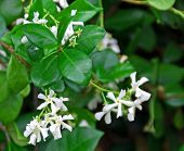 picture of honeysuckle  - A photograph of the white star - JPG
