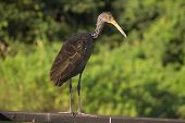 pic of water bird  - This big brazilian bird live and fishing on water - JPG
