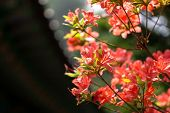 image of azalea  - royal azalea with the out of focus background - JPG