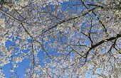 stock photo of canopy  - Low angle view of a Cherry Blossom tree canopy - JPG