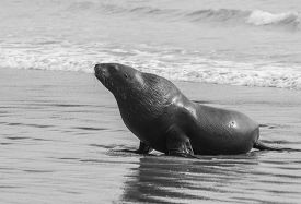 picture of curio  - Adult New Zealand sea lion  - JPG