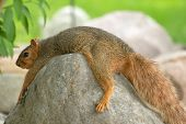 Lazy Squirrel
