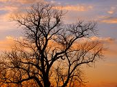 picture of winnebago  - The silhouette of an old oak tree against a blazing Illinois sunset - JPG