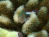 picture of hawkfish  - Closeup of small Arc-Eye Hawkfish hiding in coral.