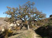 Lasky Mesa Oaks