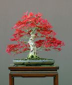 Japanese Maple In Spring
