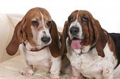 stock photo of droopy  - portrait of two basset hounds sitting on a couch with one with its tongue hanging out - JPG