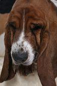 Snoozing Basset Hound