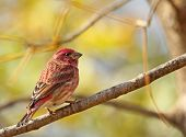 Male House Finch, Carpodacus Mexicanus