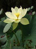Giant White Lotus