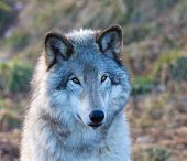 North American Grey Wolf. poster
