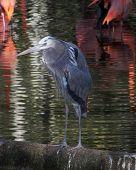 Blue Egret