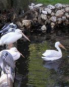 Pelican And Egrets