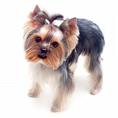 Little Yorkshire Terrier