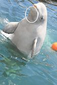 Dolphin With  Ring
