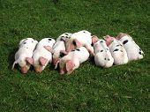 Piglets asleep