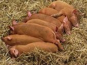 Tamworth piglets asleep