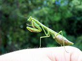 Praying Mantis Side View