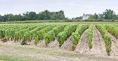 vineyard, Sauternes Region, France