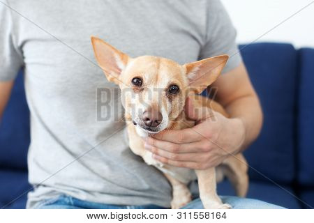 poster of Male Hands Stroking A Dog. The Owner Loves His Dog. Friendship Between Man And Dog. Chihuahua In The