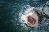 foto of great white shark  - Great White Shark of the coast of South Africa - JPG