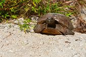 Large Gopher Turtle in sand