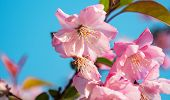 Close-up Shot Of Springtime Peach Tree Blossoms, Blue Sky On The Background. Beautiful Pink Blossomi poster